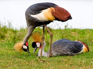 1915-uganda-kampala-uganda-birding-9-day-excursion
